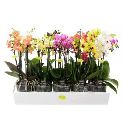 Фаленопсис многоцветковый