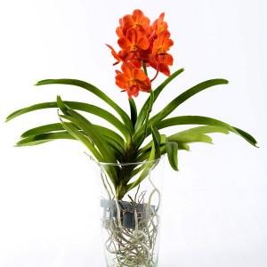 Ванда Orange Magic