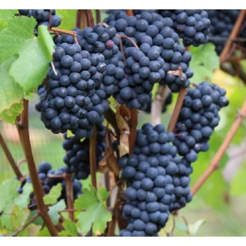 Виноград память домбковской как сажать 73