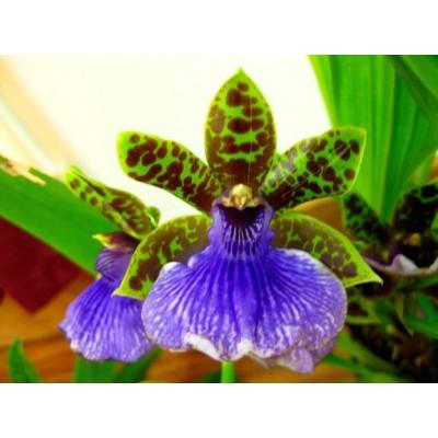 Орхидея зигопеталум Trozy Blue